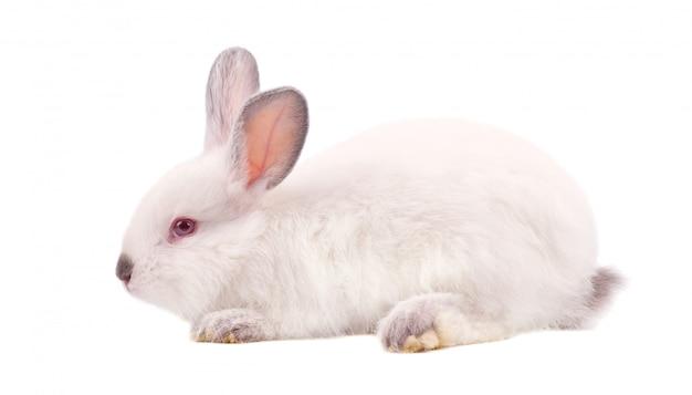 Vrij wit pluizig die konijntje op witte ruimte wordt geïsoleerd. wit konijn geïsoleerd