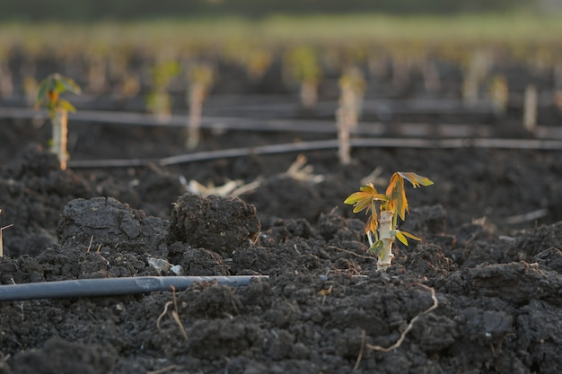 Vroege variëteiten van cassave geplant tijdens het teeltseizoen.