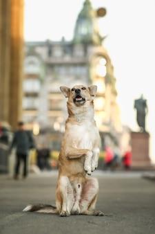 Vrolijke bruine herdershond bedelend op plein
