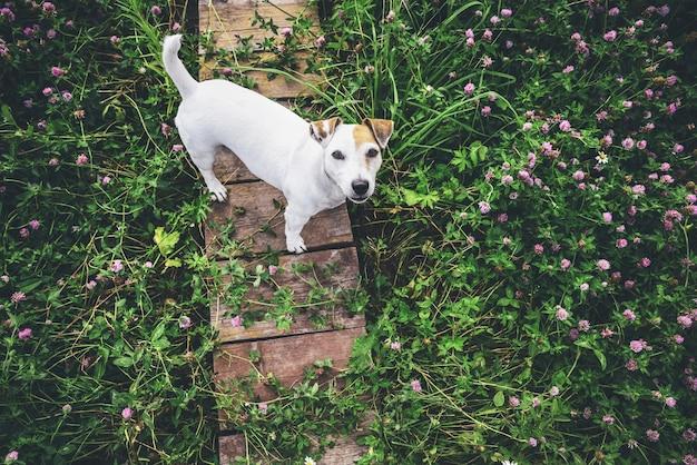 Vrolijke hond jack russell voor een wandeling op een bloeiende weide. kopieer de ruimte