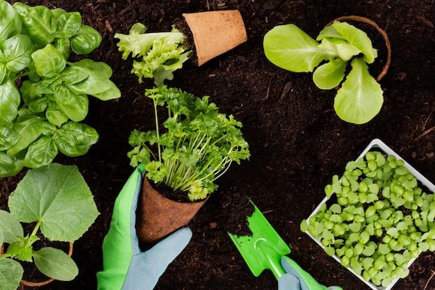 Vrouw aanplant van jonge zaailingen van sla salade in de moestuin.