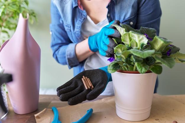 Vrouw bemest bloeiende saintpaulia in pot met minerale meststof in stokken thuis. teelt en verzorging van kamerplanten. hobby's en vrije tijd, tuinieren in huis, kamerplant