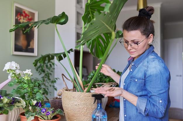 Vrouw bemest monstera plant in pot met minerale meststof in stokken thuis. teelt en verzorging van kamerplanten. hobby's en vrije tijd, tuinieren in huis, kamerplant, stadsjungle