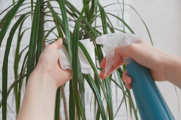 Vrouw besproeit bladeren van dracaena met water en veegt ze af