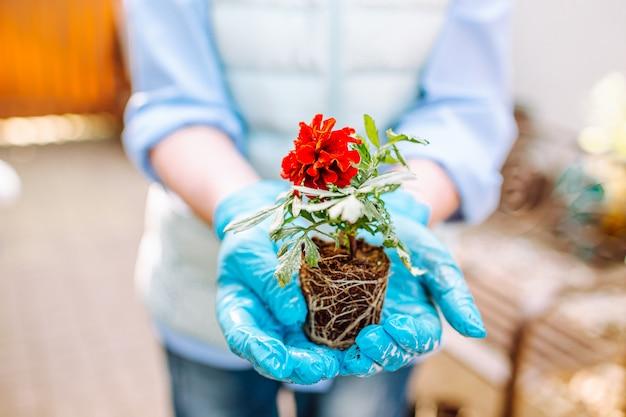 Vrouw die een bloem van goudsbloem zonder pot met nakeswortels houdt die bij haar binnenplaats blijven