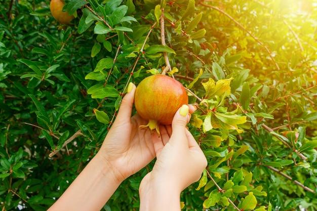 Vrouw die een granaatappelfruit van een boom in zonnige dag neemt