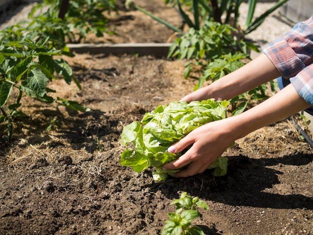 Vrouw die een groene kool van de grond neemt
