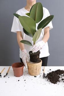 Vrouw die ficus-bloem in een nieuwe rieten pot, de houseplanttransplantatie thuis opnieuw planten. jonge mooie vrouw die voor ingemaakte binneninstallaties geeft. scandinavische stijl. minimalisme. bloemist. eco vriendelijk.