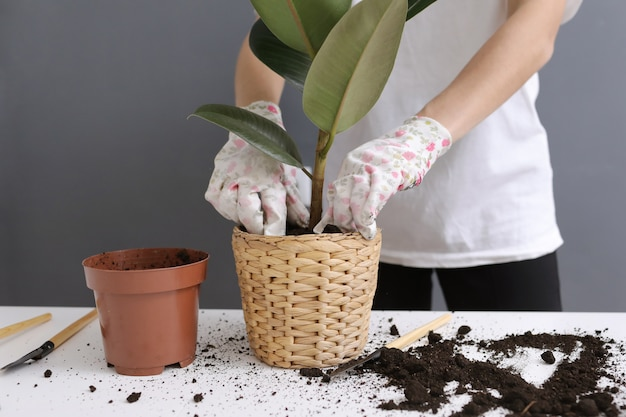 Vrouw die ficus-bloem in een nieuwe rieten pot, de houseplanttransplantatie thuis opnieuw planten. jonge mooie vrouw die voor ingemaakte binneninstallaties geeft.