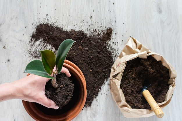 Vrouw die ficusbloem opnieuw plant in een nieuwe bruine kleipot