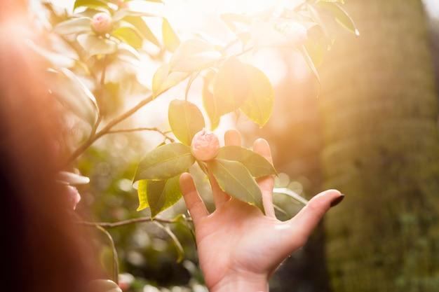 Vrouw die het roze bloem groeien op groen takje van struik houdt
