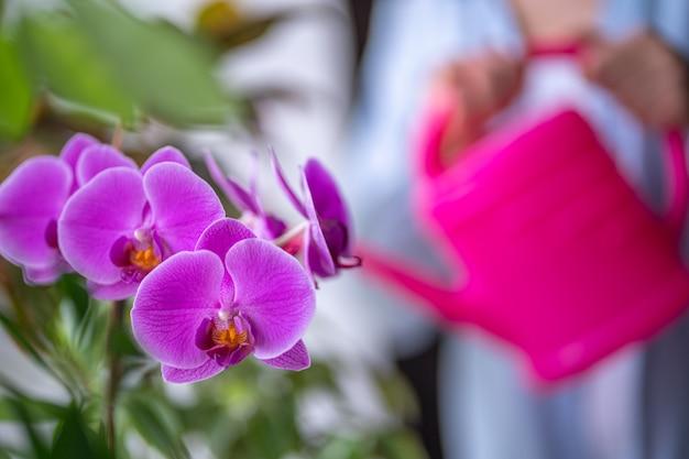 Vrouw die huisinstallaties water geven die een gieter gebruiken. water gevende orchideebloem thuis
