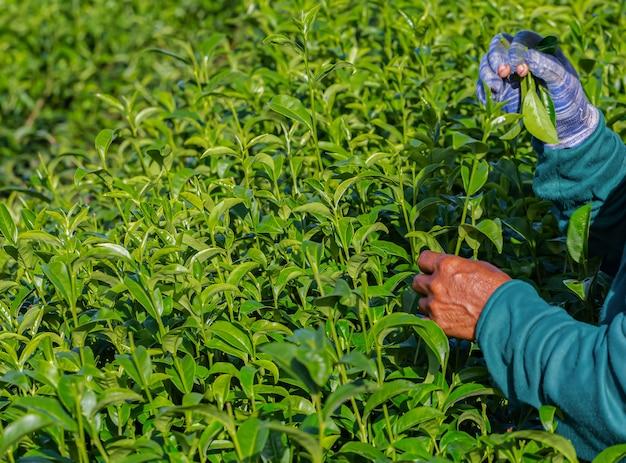 Vrouw die in groene theeaanplanting werkt in de ochtend, chiang rai, thailand