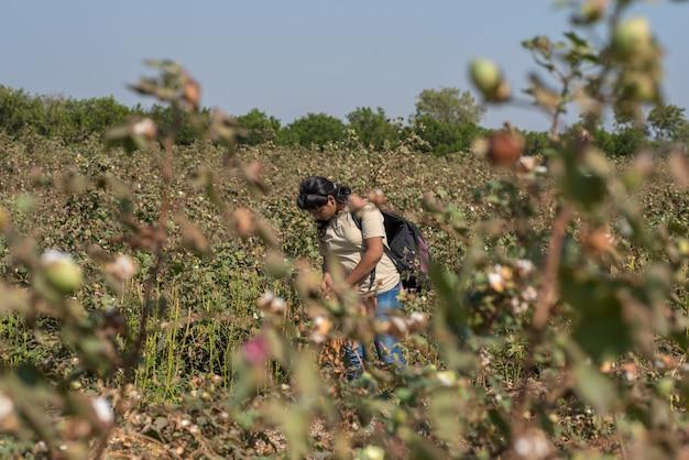 Vrouw die katoen van landbouwbedrijfgebied neemt
