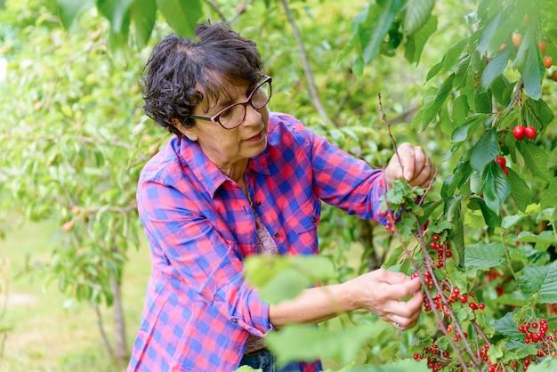 Vrouw die rode kers van boom in de zomertuin plukken