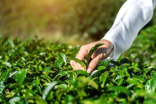 Vrouw die theeblaadjes met de hand plukt in groene theeboerderij.