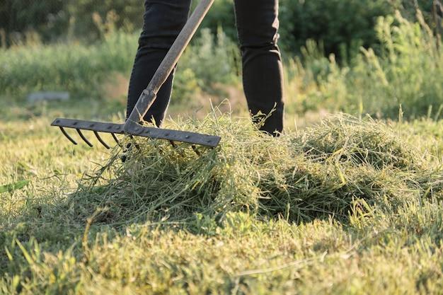 Vrouw die vers gesneden gras verzamelt
