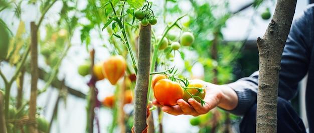 Vrouw die voor het kweken van tomatenvruchten in een serre geeft