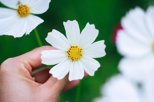 Vrouw die witte bloem van kosmosbloemengebied met de hand plukken als gift voor valentijnskaartdag