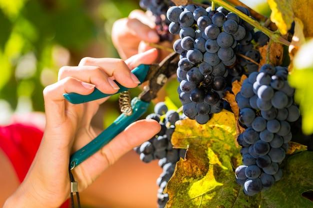 Vrouw druiven plukken met schaar
