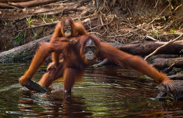 Vrouw en baby orang-oetan drinken water uit de rivier in de jungle. indonesië. het eiland kalimantan (borneo).
