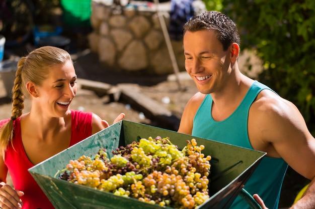 Vrouw en man die met druiven het oogsten machine bij wijnoogst werken en pret hebben