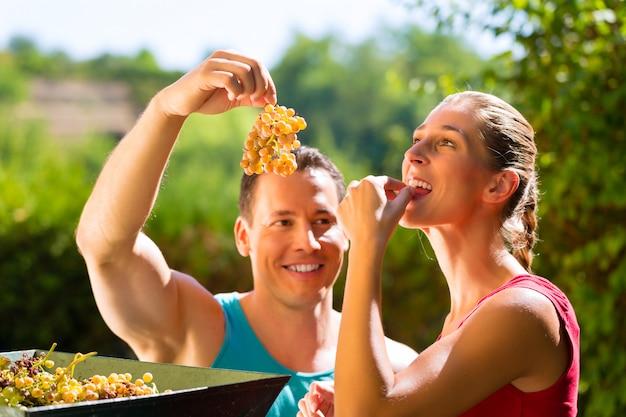 Vrouw en man die met druivenoogstmachine werken