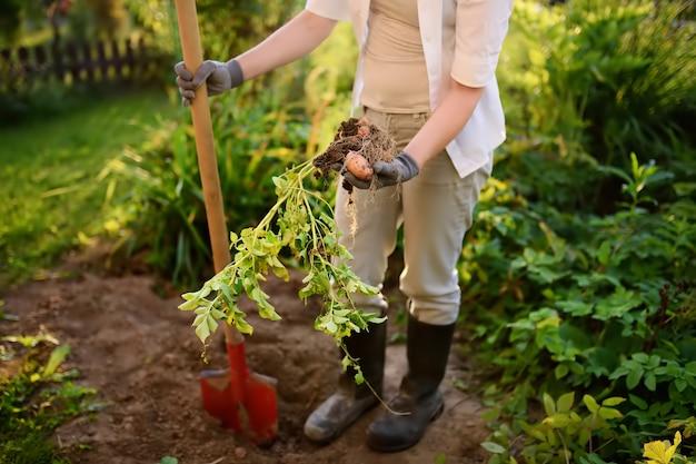 Vrouw geschoeid in laarzen graaft aardappelen in haar tuin.