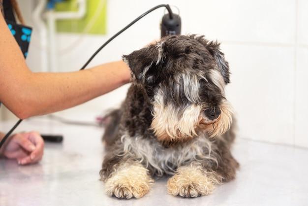 Vrouw groomer trimmen hondenhaar met clipper. vrouw die in dierenwinkel werkt. groomer hondenhaar knippen met een tondeuse.