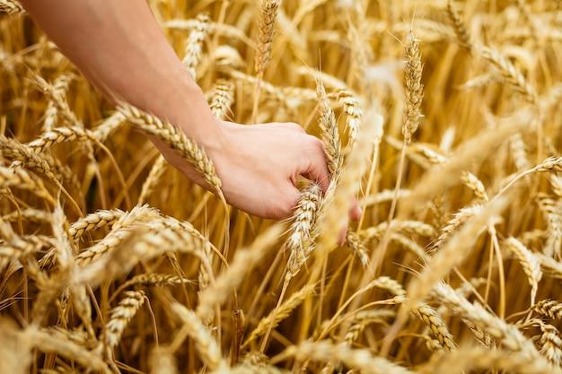 Vrouw hand aanraken van tarwe oren op veld handen op het gouden tarweveld vrouw die haar hand door...