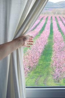 Vrouw hand die het gordijn trekt om de bomen met roze bloemen te zien. reis concept.