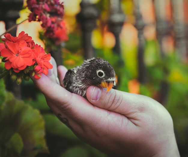 Vrouw hand met agaporni of onafscheidelijk naast mooie rode bloem