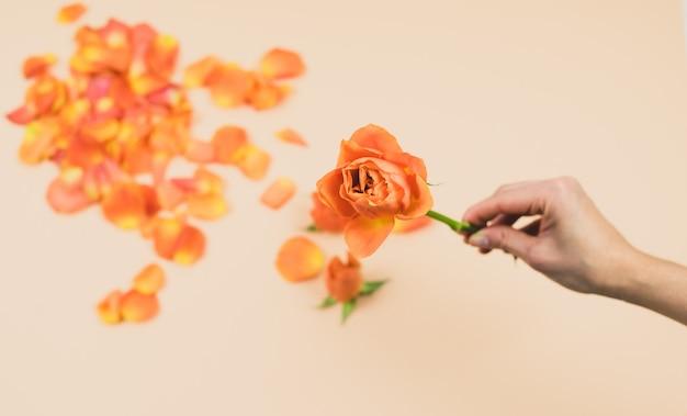 Vrouw hand met oranje roos op een roze achtergrond met oranje rozenblaadjes. lente concept. kopieer ruimte.