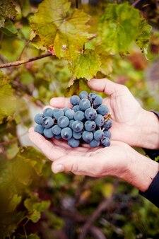 Vrouw hand met zwarte druiven