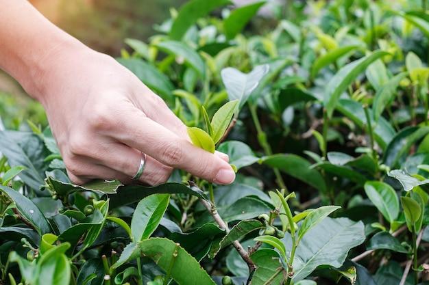 Vrouw hand oppakken van jonge scheut theeblaadjes bij een theetuin heuvel in de ochtend.