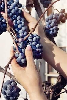 Vrouw handen druiven plukken uit de tuin