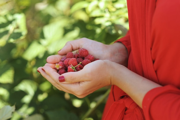 Vrouw handen met framboos, buiten in de buurt van frambozenstruik, geen gezicht