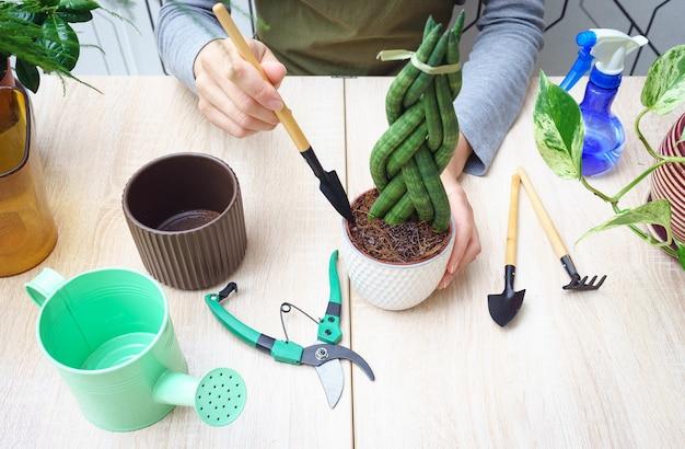 Vrouw handen plant sansevieria overplanten in een nieuwe pot.