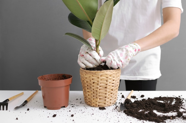 Vrouw herplant ficus bloem in een nieuwe rieten pot, de kamerplant transplantatie thuis,