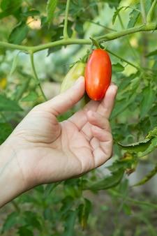 Vrouw houdt een rijpe rode tomaat die groeit op een tak in de tuin.