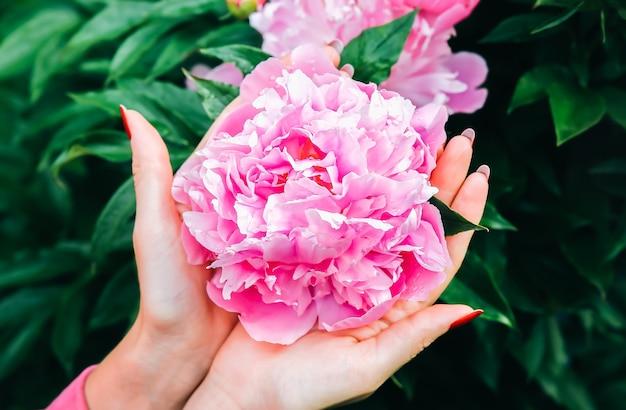 Vrouw houdt pioenrozen in dauw na de regen. mooie bloemen in handen. stijlvolle zomer plat lag.