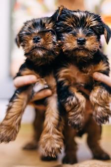 Vrouw houdt twee puppy's van yorkshire terrier