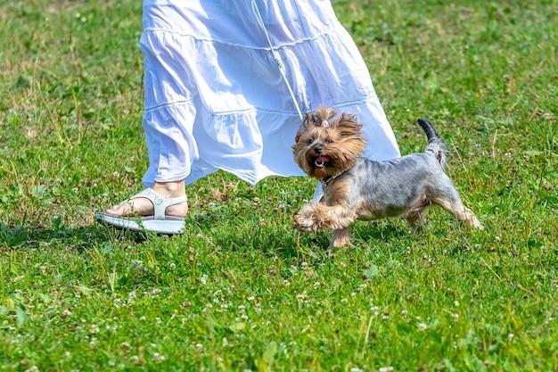 Vrouw in een witte jurk op een wandeling met een hondenras yorkshire terrier