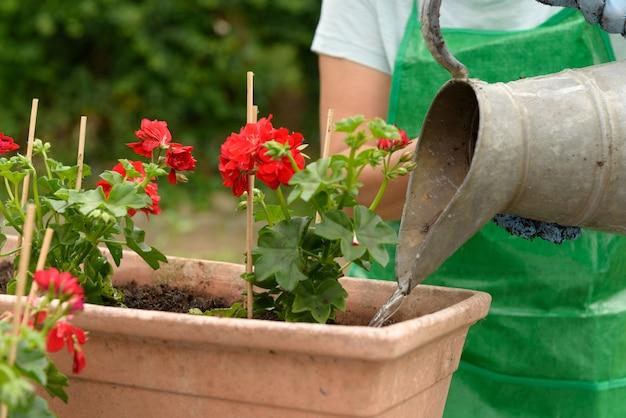 Vrouw in strohoed het water geven geraniums