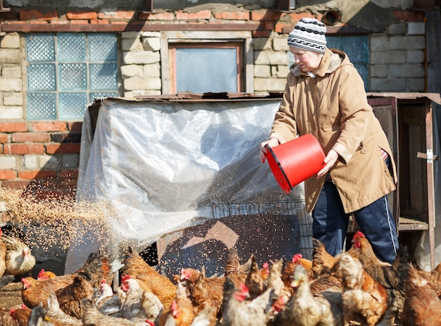 Vrouw kippen voederen op de boerderij uit een emmer graan