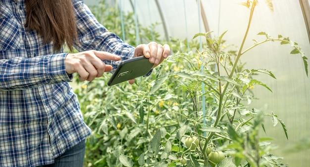 Vrouw maakt foto's van de eerste groene vruchten van tomaten in een kas met een telefooncamera.