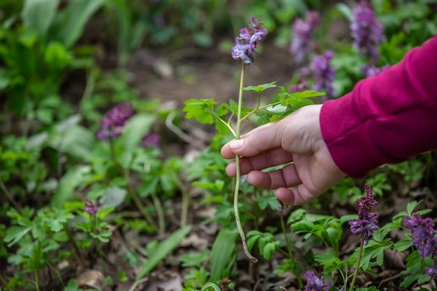 Vrouw met de hand oppakken of oogsten van zeer zeldzame bloemen in het nationale park of de botanische tuin, milieuconcept