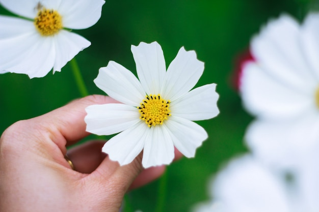 Vrouw met de hand plukken witte bloemen kosmos als een geschenk voor valentijn dag, zacht en zoet afgezwakt