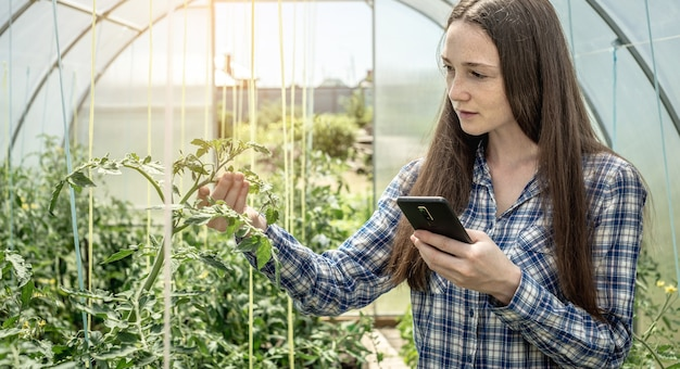 Vrouw met een telefoon in haar hand houdt en onderzoekt zorgvuldig de groene bladeren van tomaten in de kas