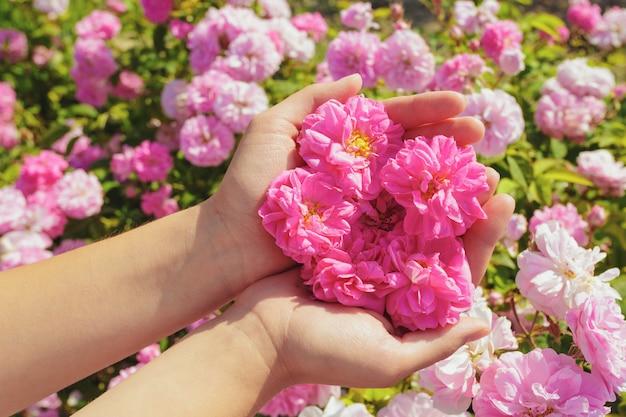 Vrouw met rozen close-up. zomerseizoen.